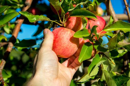 Scegliere un gustoso Gala in cerca di Apple. Archivio Fotografico - 45695452