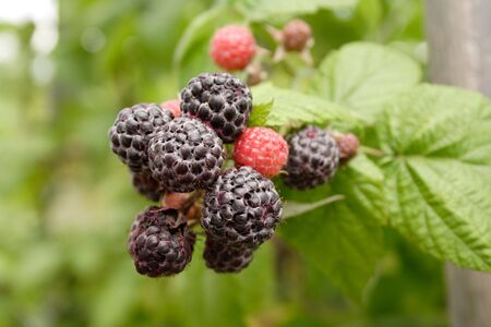 Berries of a black raspberry photo