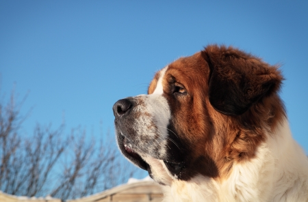 big dog,winter Stock Photo - 17914935