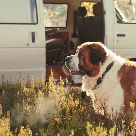 large dog guards the car on nature photo
