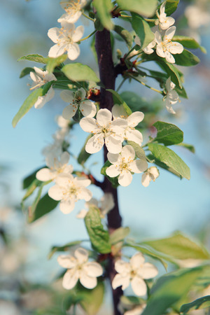 Apple blossoms in spring,vintage style toned Pastel colors