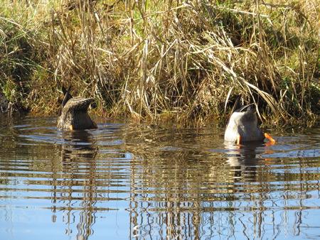 agachado: dos patos de alimentación en la parte inferior de un estanque