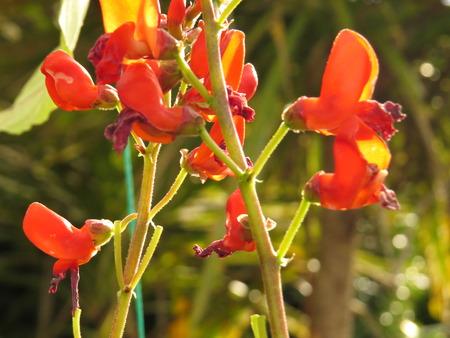 bean plant: bean plant in flower in the vegetable garden