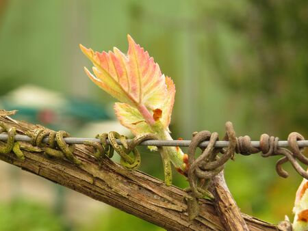 young leaf: young leaf of a new grape vine