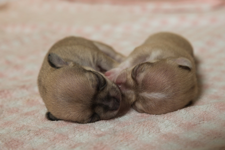 full blooded: chihuahua puppies sleeping on pink blanket Stock Photo