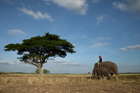 Elephants and mahout with lonely tree and blue sky Stock Photo