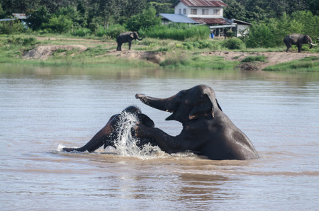 surin: Elephants playing in river,elephant village at Surin province,Thailand.