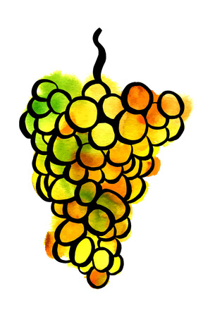 A freehand vector and watercolor drawing of a bunch of green and yellow grapes, on white background