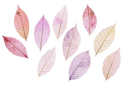 tinted: A set of purple tinted skeleton leaves on white background, autumnal design elements Stock Photo