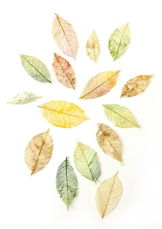 tinted: A set of yellow and green tinted skeleton leaves on white background, autumnal design elements