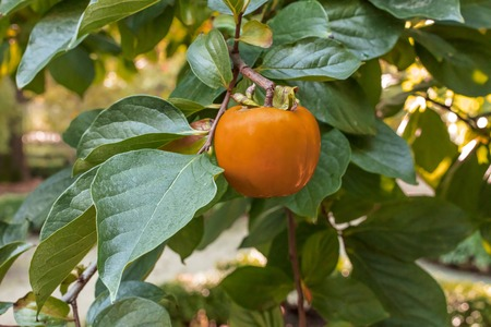 A photo of a ripe persimmon fruit hanging on a tree between green leaves Stock Photo