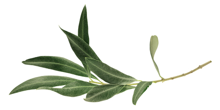 A photo of a green olive branch, isolated on white Stockfoto