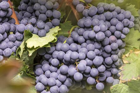 grape fruit: Wine grapes in a vineyard before autumn harvest Stock Photo