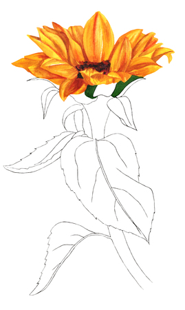 Pen, ink and watercolour drawing of sunflower, isolated