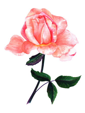Watercolor pink rose drawing, isolated on white