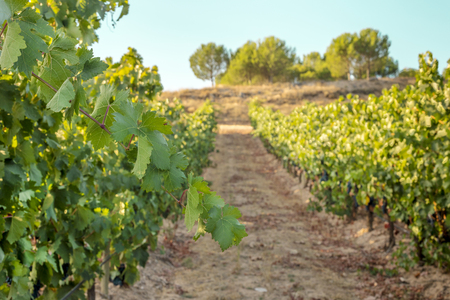 wine road: Vibrant green branch at vineyard, HDR effect Stock Photo