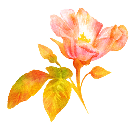 Watercolor drawing, blooming rose, vintage botanical art, golden