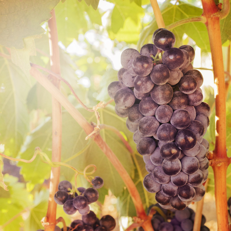 Wine grapes in a vineyard before autumn harvest Imagens