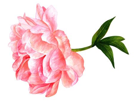 Watercolor drawing of tender pink peony flower in bloom Stock Photo
