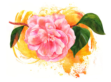 japanese garden: Watercolor drawing of pink camellia flower on golden brush strok