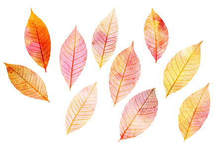 Set of golden toned skeleton leaves on white background