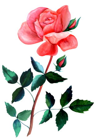 original single: Watercolor red rose drawing, isolated on white Stock Photo