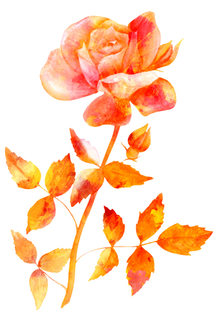 original single: Watercolor golden rose drawing, isolated on white