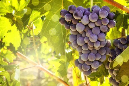 Wine grapes in a vineyard before autumn harvest Reklamní fotografie