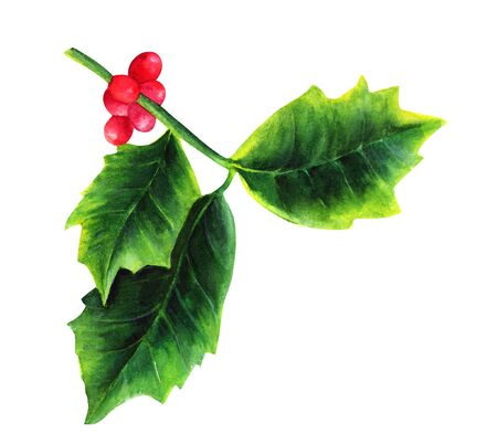 Watercolor drawing of Christmas holly, isolated on white Stock Photo