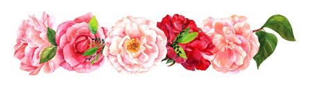 Border of watercolour roses, camellias, peonies, isolated on whi