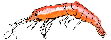 Vector and watercolor shrimp, hand drawn on white background Illustration
