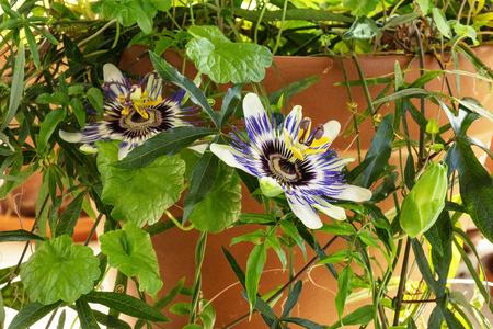 Une photo d'une fleur de la passion en fleurs sur une plante de passiflore en pot avec de nombreuses feuilles vertes, une vigne à l'intérieur Banque d'images