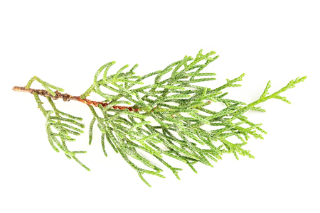 A photo of a green thuja branch on a white background