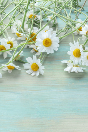 Chamomile flowers in bloom on a teal blue wooden background with copyspace