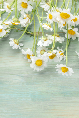 Blooming chamomile flowers on a teal blue wooden background with copy space