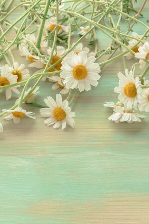 Chamomile flowers on a teal background with copy space, toned image