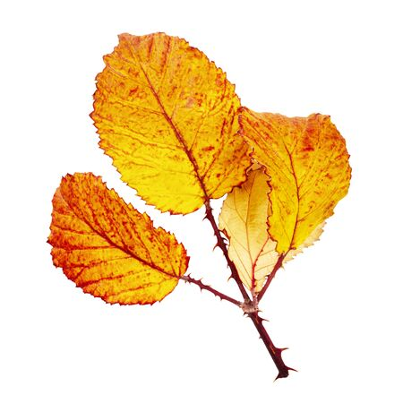 Autumn leaves branch, isolated on a white background