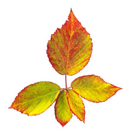 Autumn leaves branch, isolated on white with a clipping path