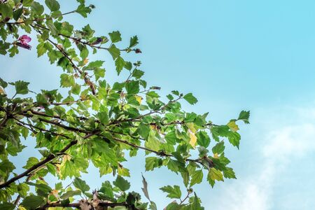 A branch of vibrant green leaves against the background of a teal blue sky, summer background with a place for text