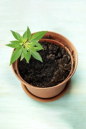 Growing cannabis at home. A hemp plant in a pot on a teal background with a place for text
