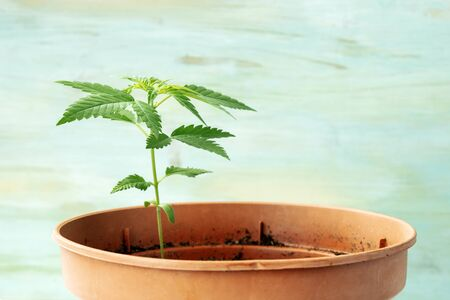 Growing cannabis at home. Young hemp plant with green leaves, side view on a teal background with copy space Banco de Imagens