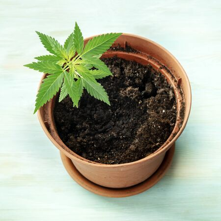 Growing cannabis at home. A hemp plant in a pot on a teal background, square photo