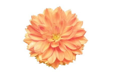 A dahlia flower, pink toned, isolated on a white background with a clipping path