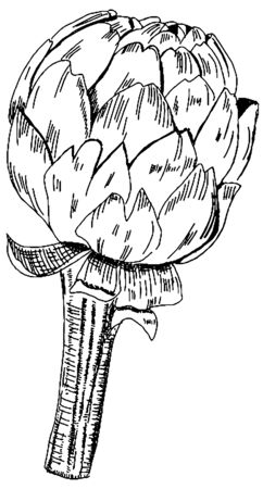Vector artichoke drawing in pen and ink on a white background, a black-and-white hand drawn sketch 向量圖像