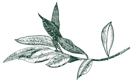 Vector olive branch drawing, engraving style, isolated on a white background, a hand drawn sketch 向量圖像