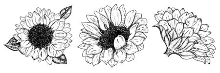 Vector sunflowers set, isolated on a white background, design elements for greeting cards and wedding invitations, suitable for hot foil stamping