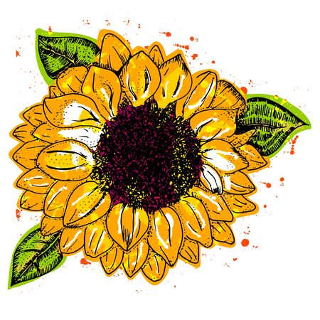 Sunflower, vector watercolor, isolated on a white background 向量圖像