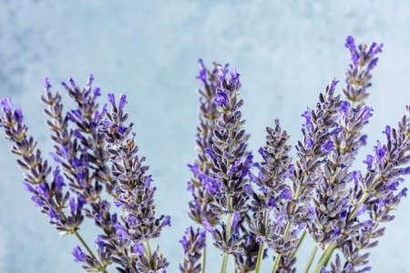 Lavender flowers on a blue background, many lavandula plants in bloom, aromatic herb 版權商用圖片