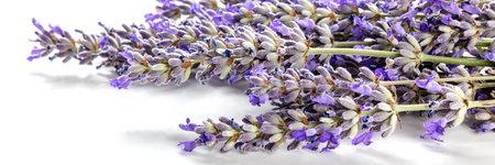 Lavender flower panorama on a white background, a bunch of lavandula plants 版權商用圖片