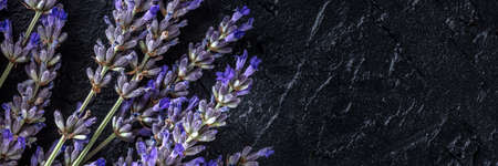 Lavender panorama, shot from above with a place for text. Lavandula plant in bloom panoramic banner